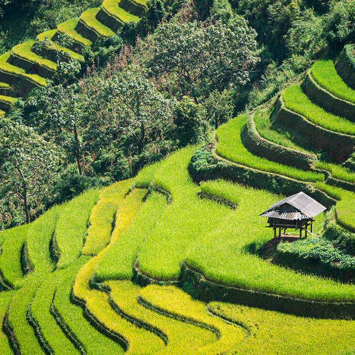 Vietnam, Rice paddy fields