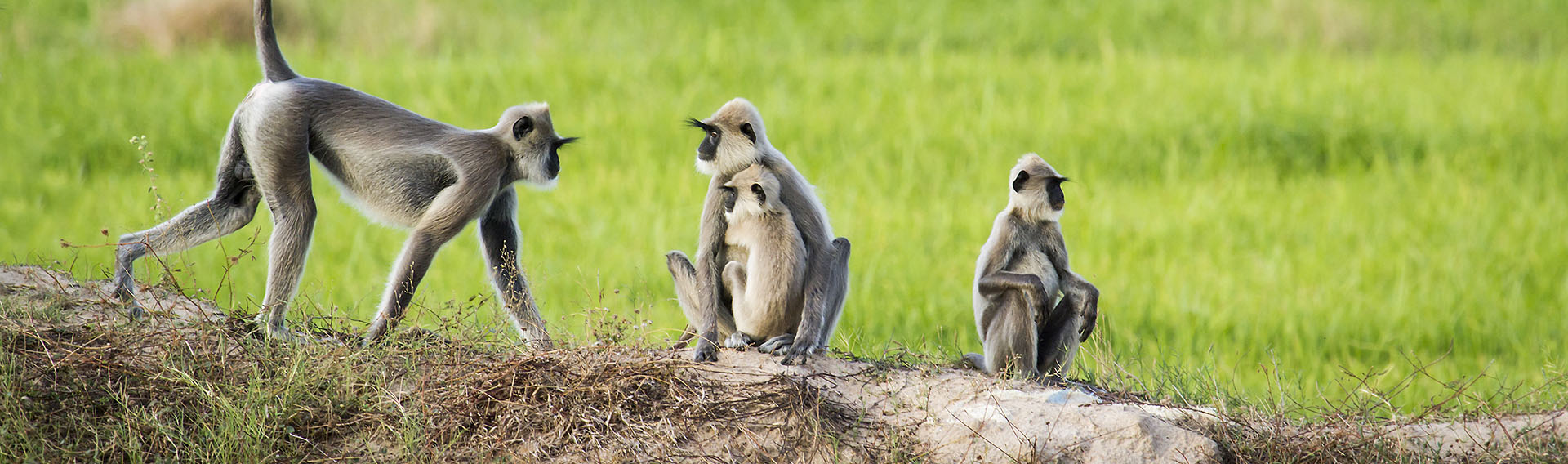 Sri Lanka, East Coast, Monkeys