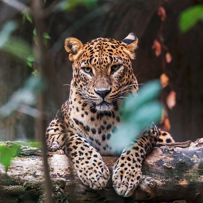 Leopard, Wildlife, Sri Lanka