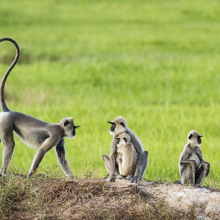 Sri Lanka, Monkeys, Wildlife