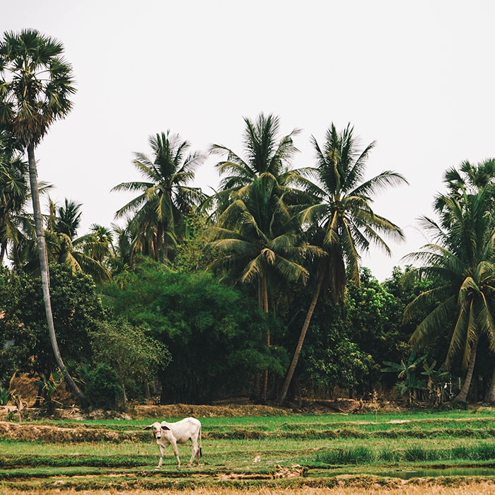 Paddy field, Siem Reap, Cambodia