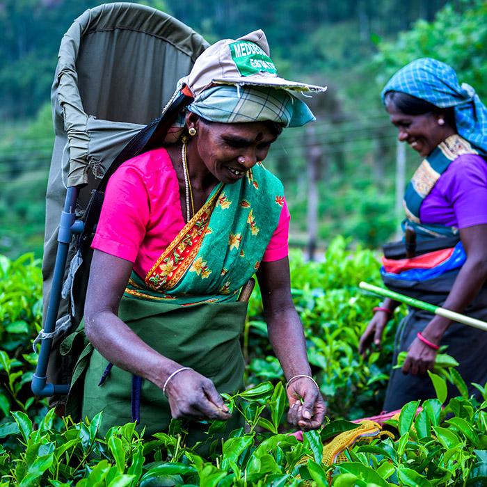 Tea plucking mountains