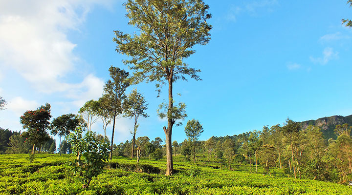 Tea estates & mountain views