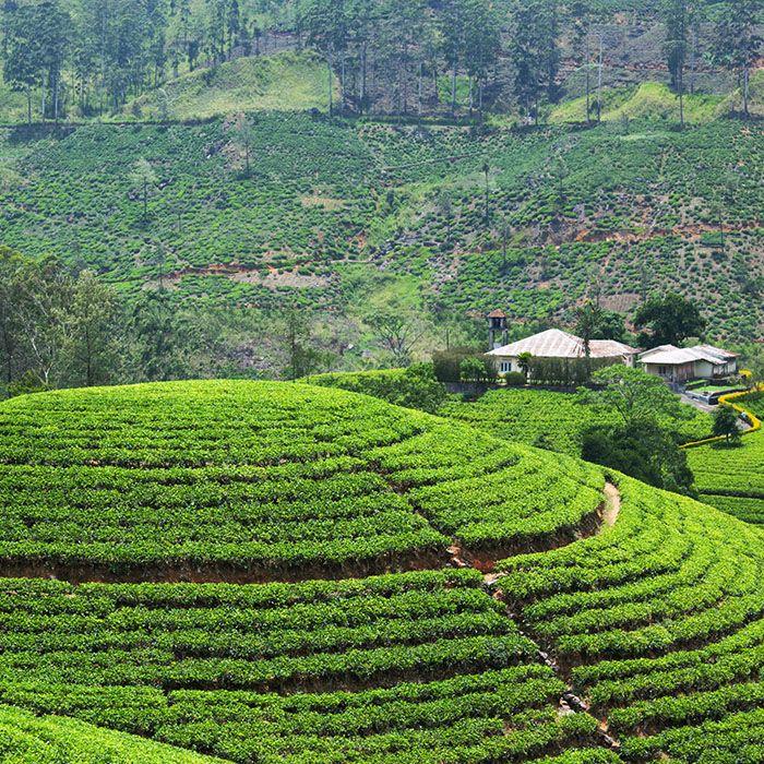 Sri Lanka, Bambarakanda, Tea estates