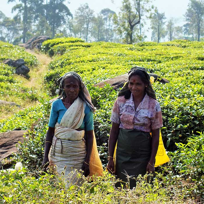Tea pickers, Madulkelle, Sri Lanka