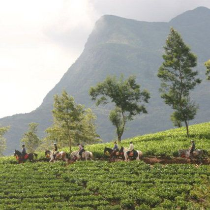 Horses, Tea plantations, Sri Lanka