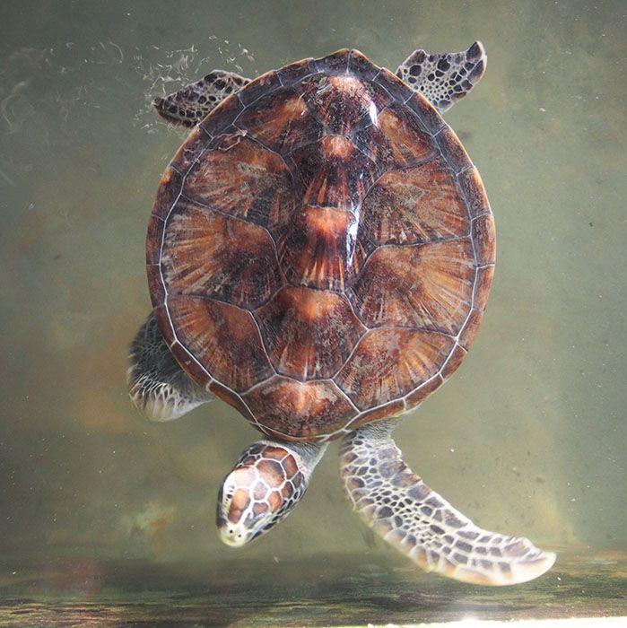 Sri Lanka, Turtles, Hatchery, Kosgoda