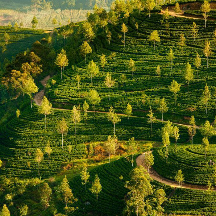 Sri Lanka, Landscapes, Tea estates