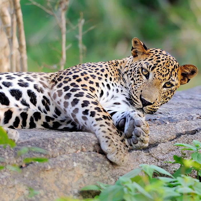 Leopard, Yala National Park, Sri Lanka