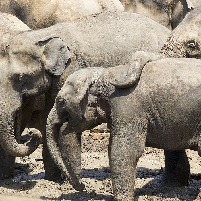 Sri Lanka, Minneriya,  Safari, Elephants