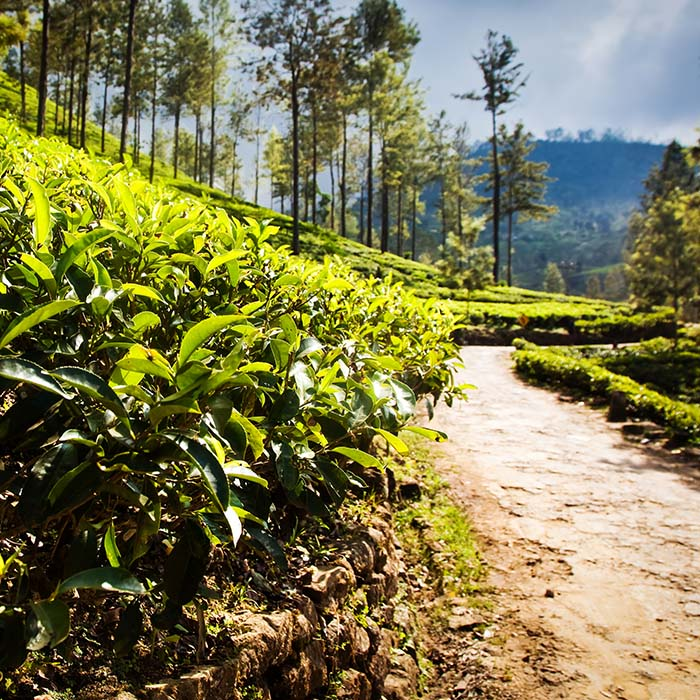 Trek, tea plantations, Sri Lanka