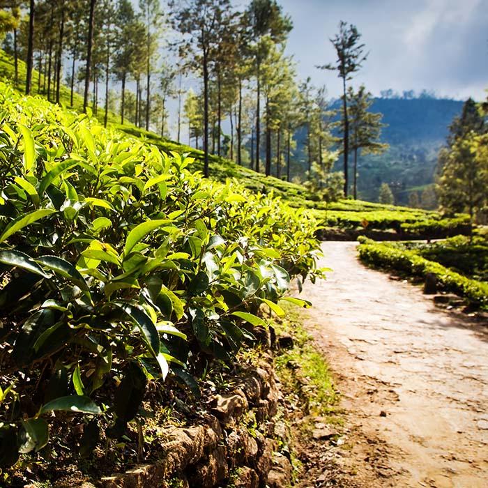 Trek, tea plantations, Sri Lanka