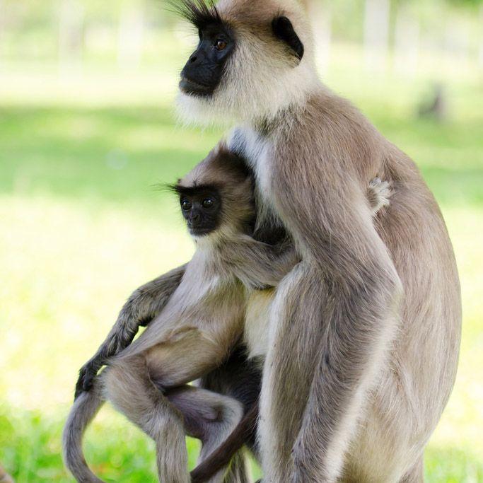 Monkey, Polonnaruwa, Sri Lanka