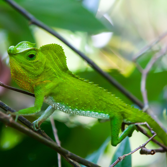 Cameleon, Sinharaja rainforest, Sri Lanka