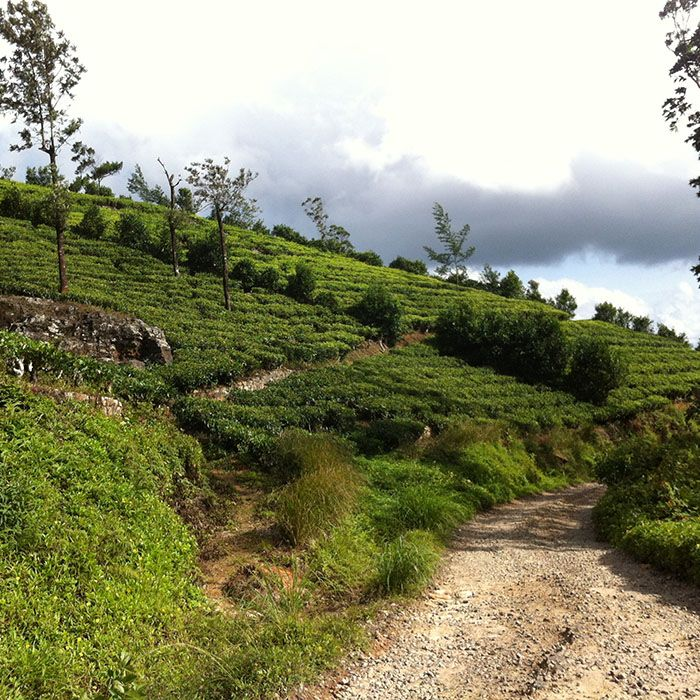 Sri Lanka, Tea estates, Cycling