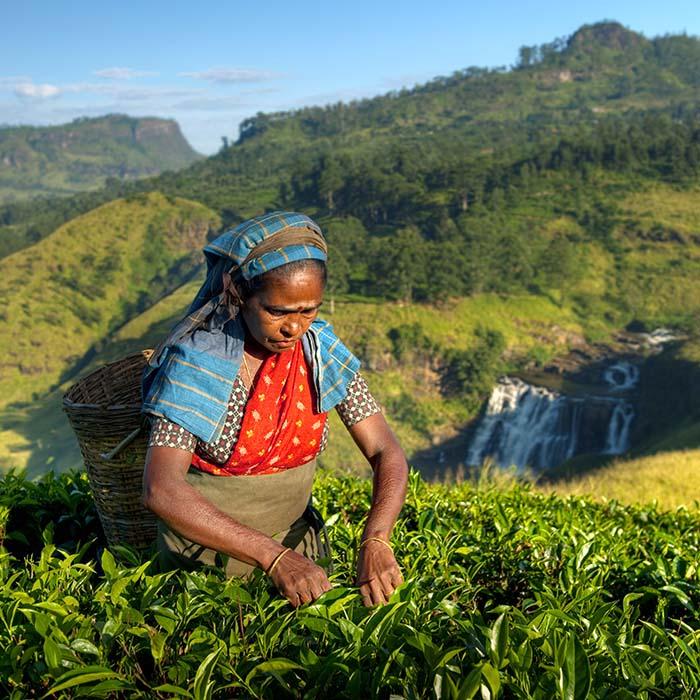 Tea plucker, Nuwara Eliya, Sri Lanka