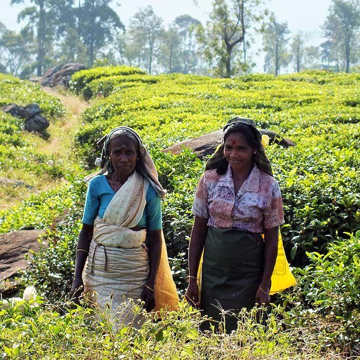 Tea pluckers, Sri Lanka