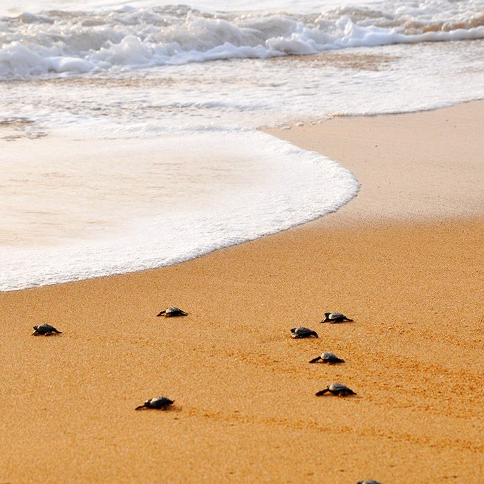 Turtles on the beach, Sri Lanka