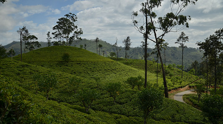 Tea trails trek