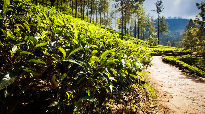 tea-plantations-sri-lanka