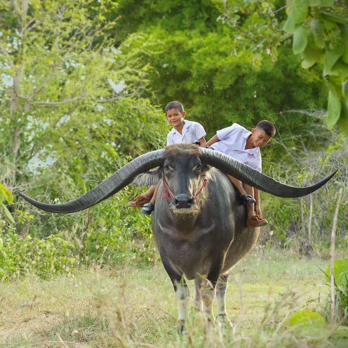 Vietnam, Pu Luong, Children, Buffalos