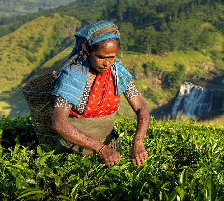 Tea Plantation - Lady Plucker - Hills