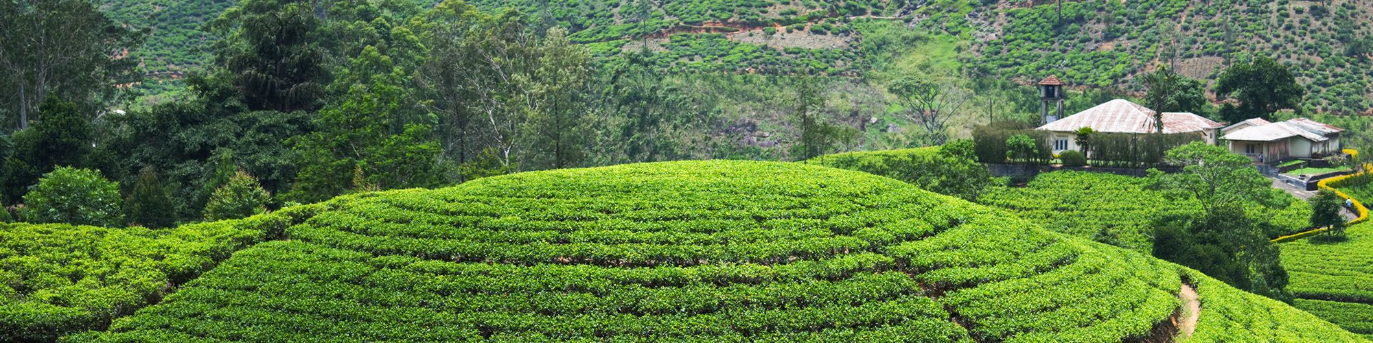 Sri Lanka, Tea estates, Bandarawela