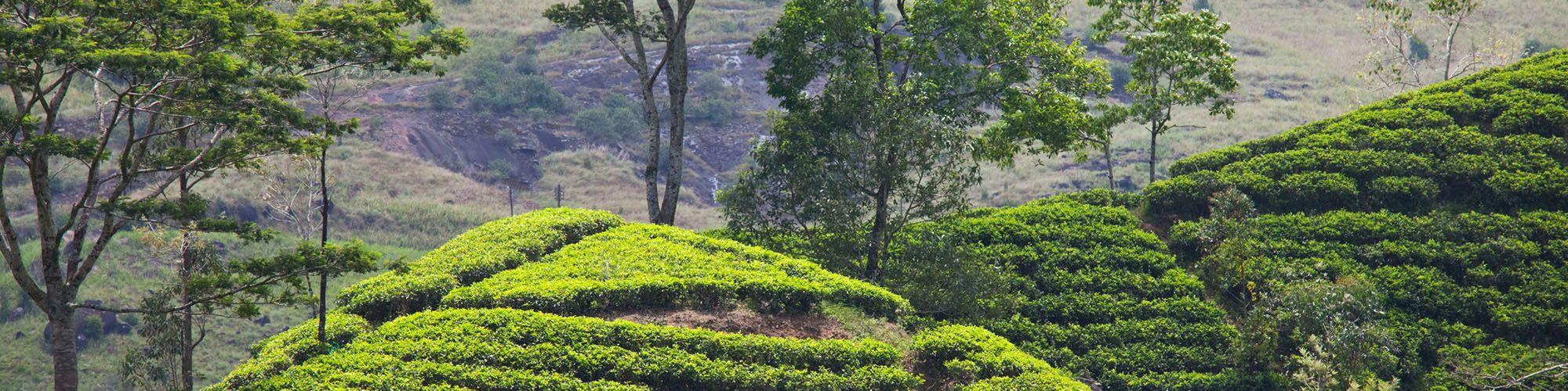 Sri Lanka, Tea estates, Cycling