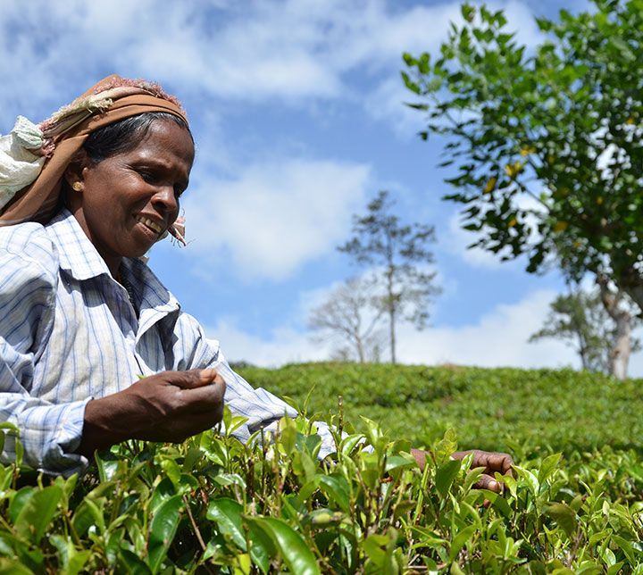 Sri Lanka, Tea plantations, Plucker