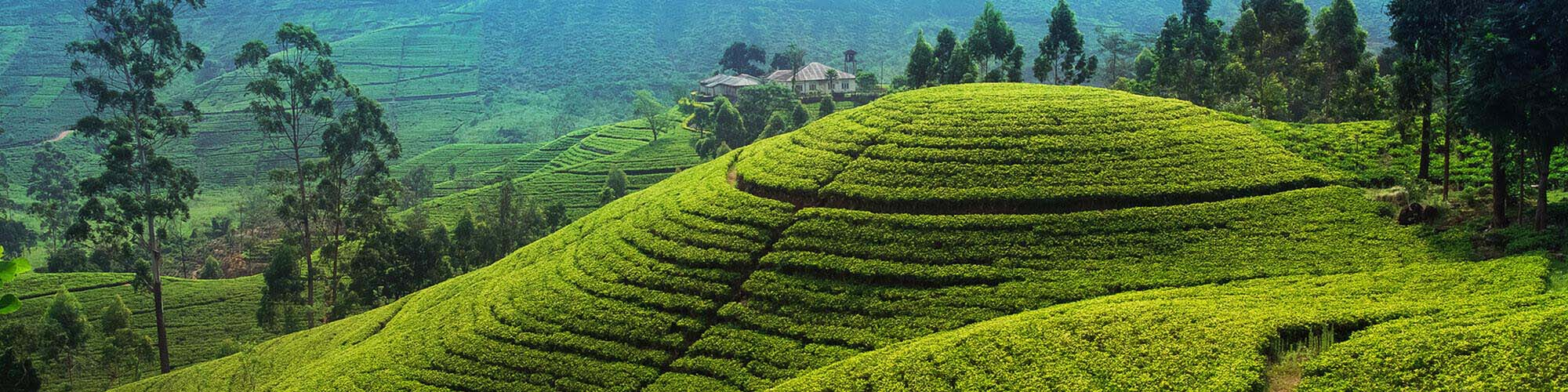Tea plantations landscape, Sri Lanka