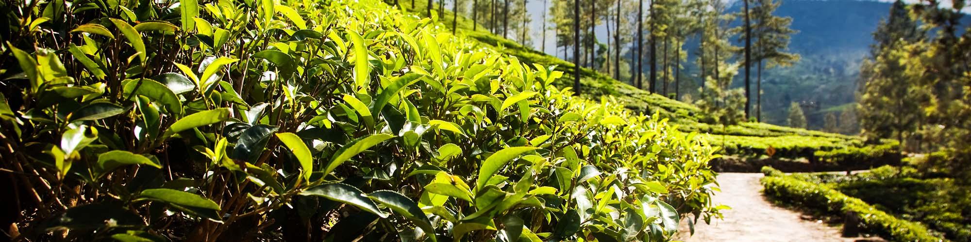 Tea trails trek, Haputale, Sri Lanka