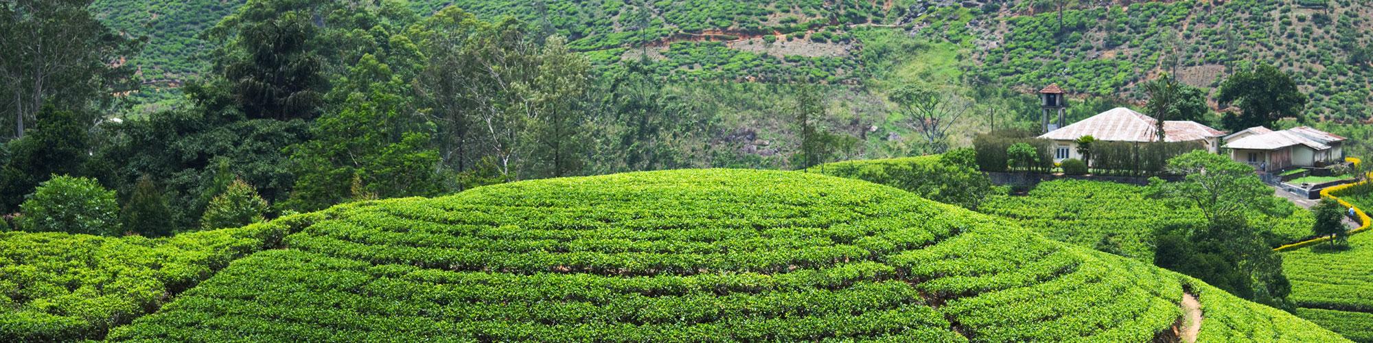 Tea estates and elephants
