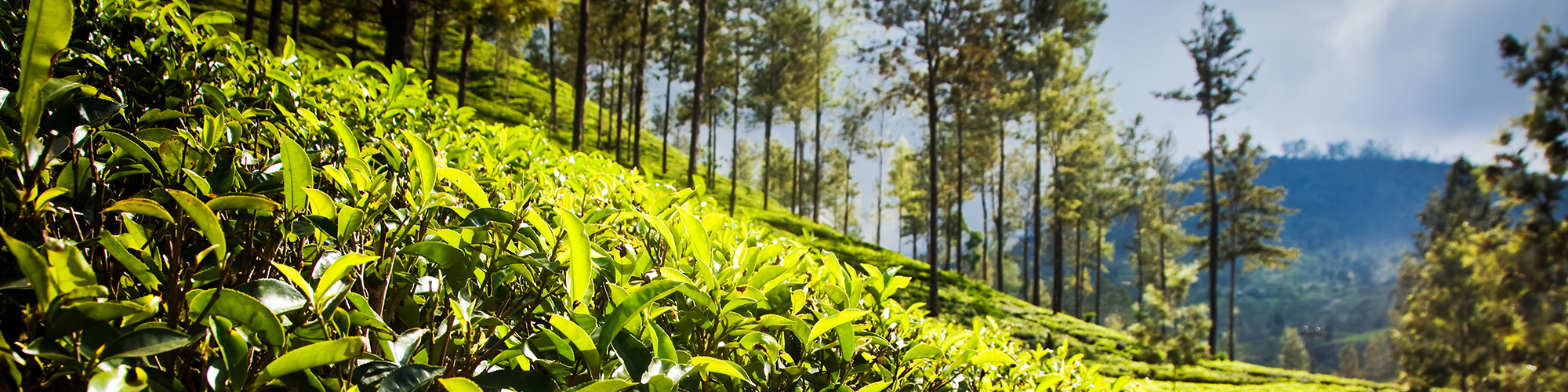 Hiking-through-tea-estates-in-Sri-Lanka
