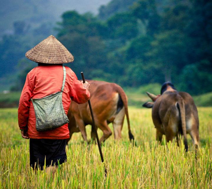 Farmer, Cows, Vietnam